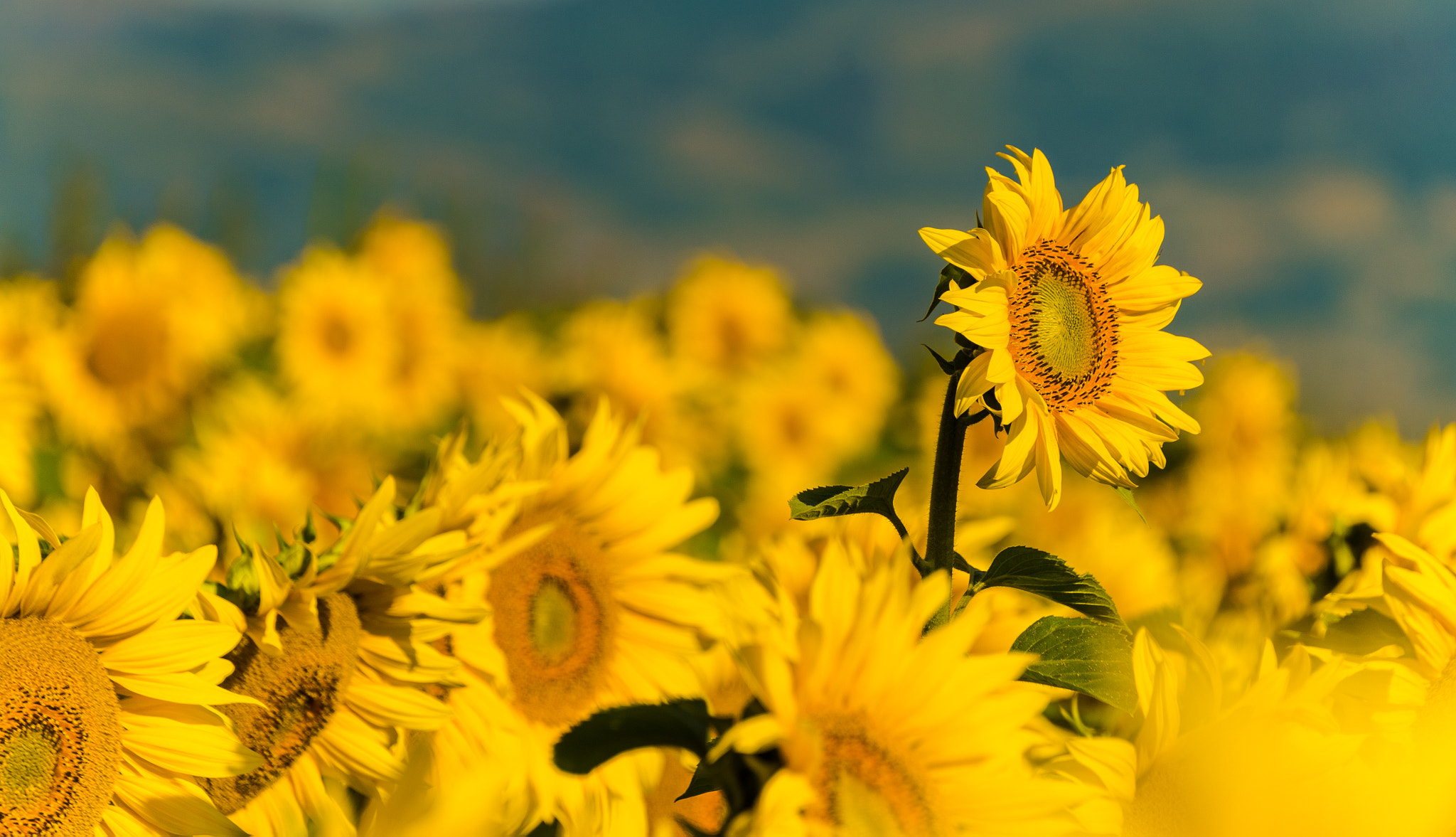 These some of the benefits of using Obri Sunflower cooking Oil  Explained